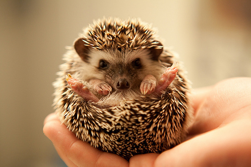 animal-cute-jawn-porcupine-Favim.com-491057_large